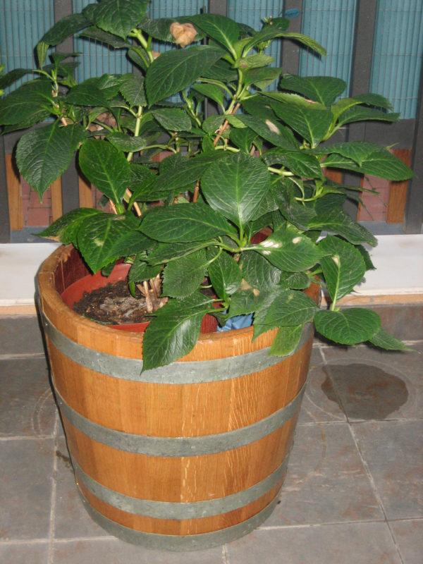 macetero de barrica con planta